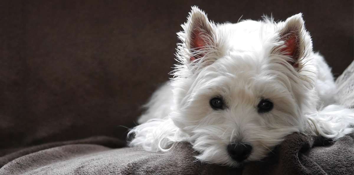 West Highland White Terrier gallery image