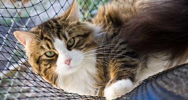 Hypoallergenic cats image