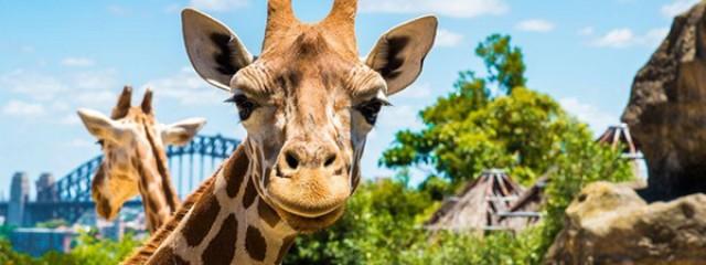 Taronga Zoo Giraffe