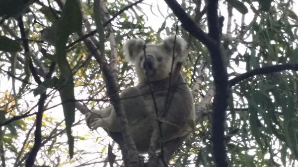 Cute koala in Magnetic Island