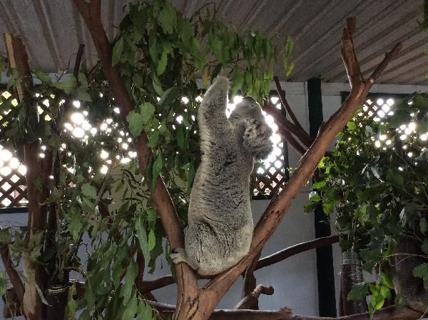 Koala brunch