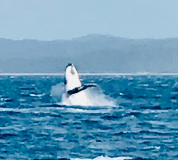 Whale Watching a Must-Do in Hervey Bay