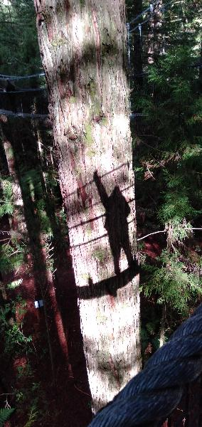 Redwood Forest Tree Top walk