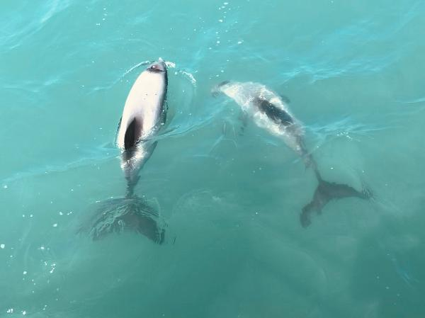 Hector dolphins!