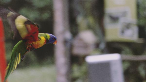 Rainbow lorikeet midflight during conservation show.