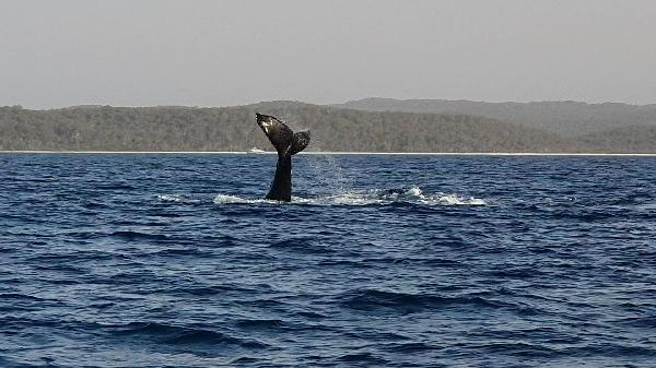A pod of three whales playing off the Fraiser coast