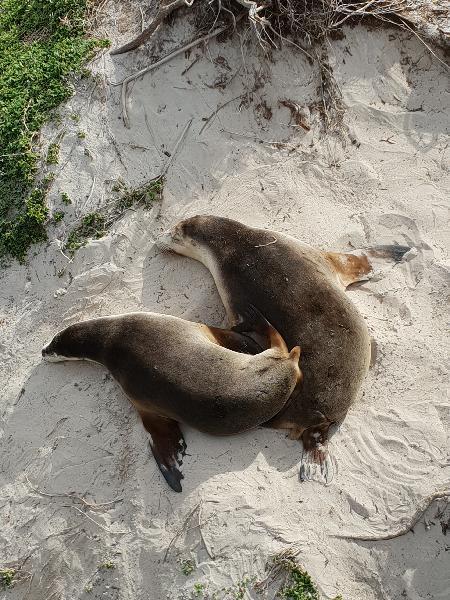 Australien Sea Lions