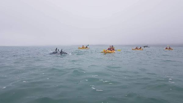 Paddling through a pod of Dusky Dolphins