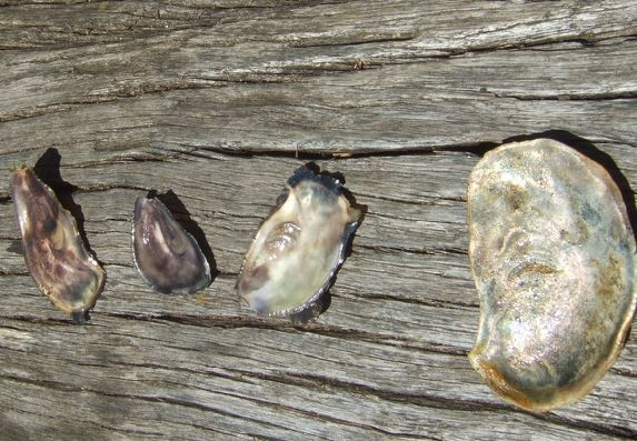 Oyster shell samples