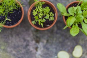 herbs in terracotta