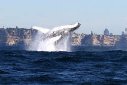 Five of the best whale watching spots close to Sydney thumbnail