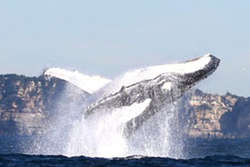 Whale Watching Cruises thumbnail