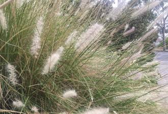Grasses SY
