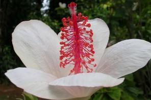 Hibiscus waimeae GOK 6