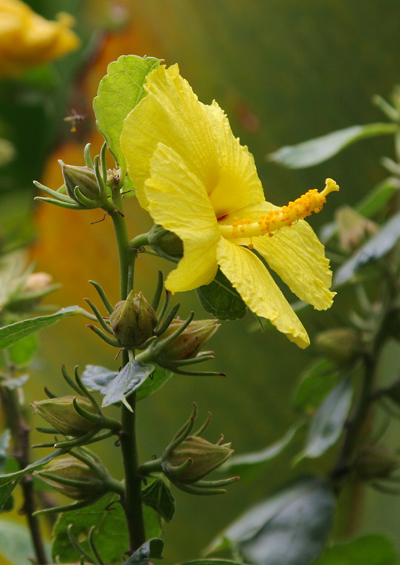 Hibiscus-brackenridgei GOK 7