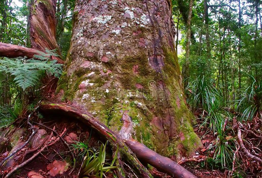 Giant Kauri Tree