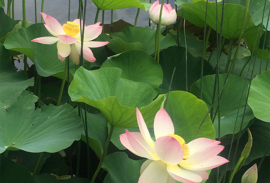 Lotus on Lake Royal Bot Gardens