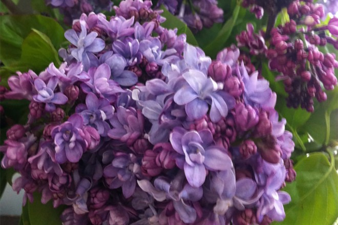 Lilac, First Emotions of Love – Blooming Beautifully at NYBG