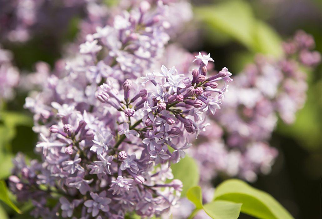 Detail: French lilac (Syringa vulgaris 'Alphonse Lavallee') in the Lilac Collection – Photo by Ivo M. Vermeulen