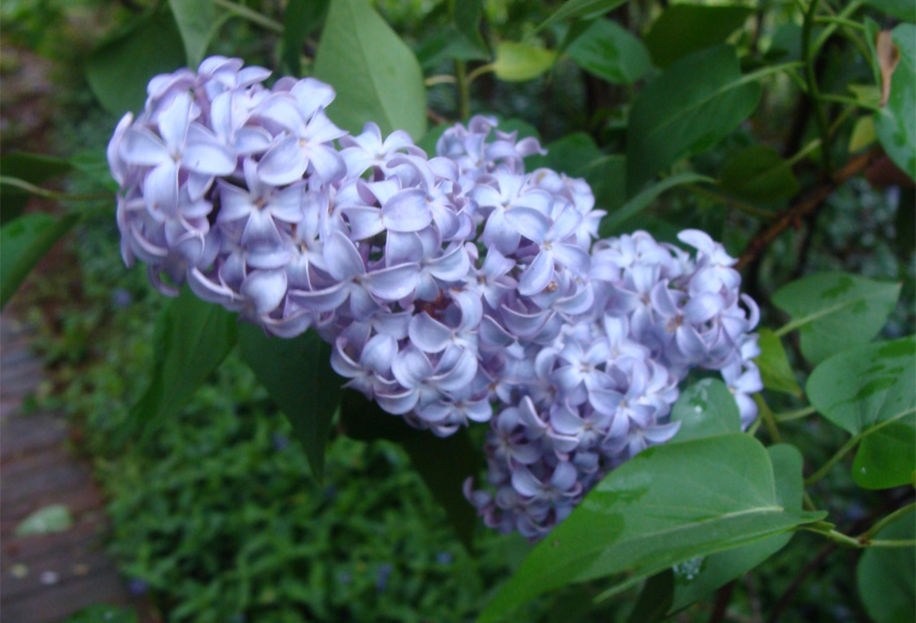 Lilac in Bloom at Thomas Jefferson's Monticello
