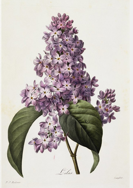 Redoute Lilac
