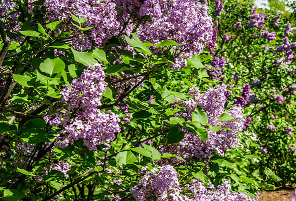 Lilacs in Bloom, New York Botanical Garden