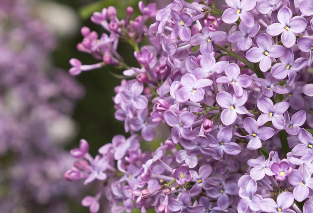 Detail: Lilacs at New York Botanic Garden; photo Ben Hider