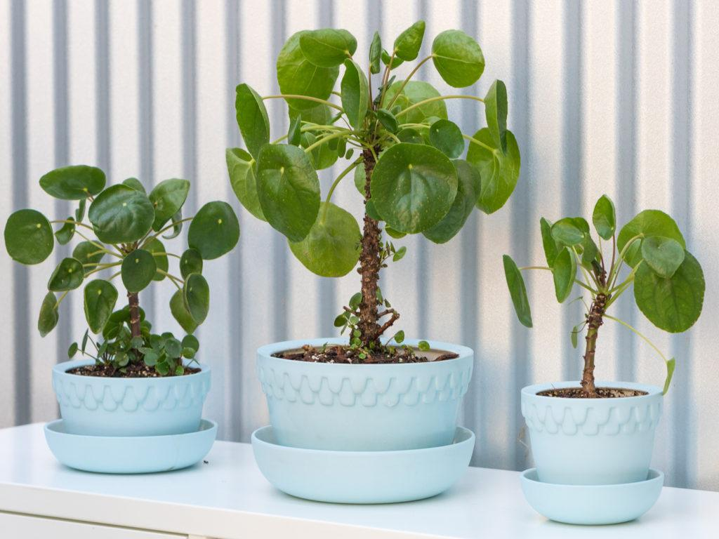 Chinese Money Plant (Pilea Peperomioides) Angus & Celeste