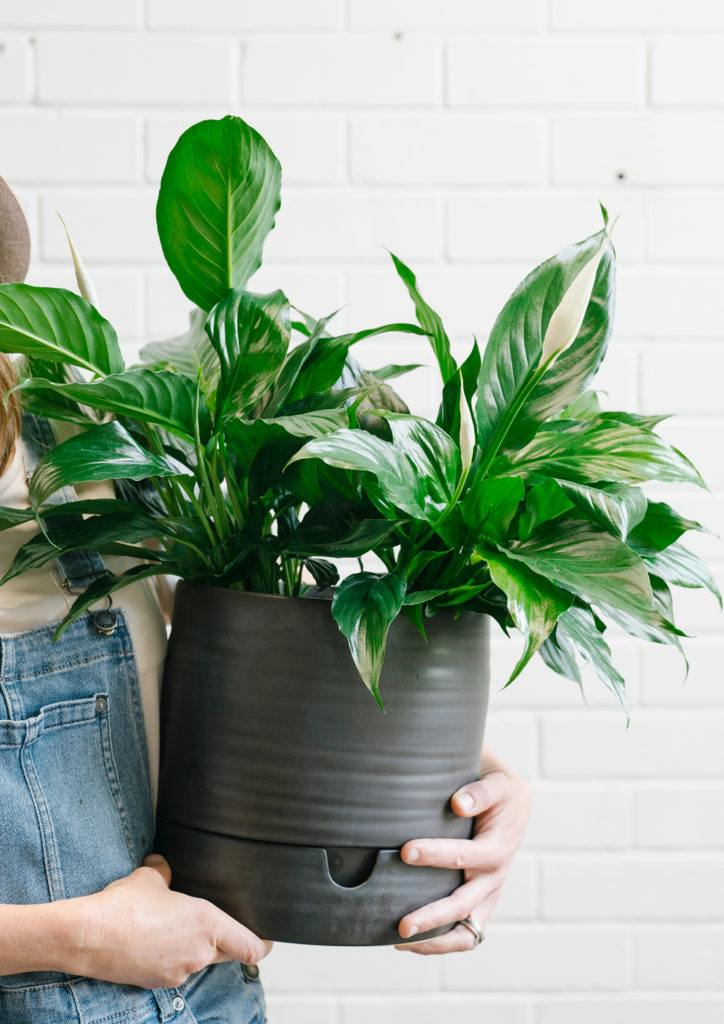 Angus & Celeste Self Watering Plant Pot Tall Matt Black photographed by Rae Fallon for Stackwood. If you're interested to see how to pot up a Peace Lily in a Self Watering Plant Pot, check out our guide here!