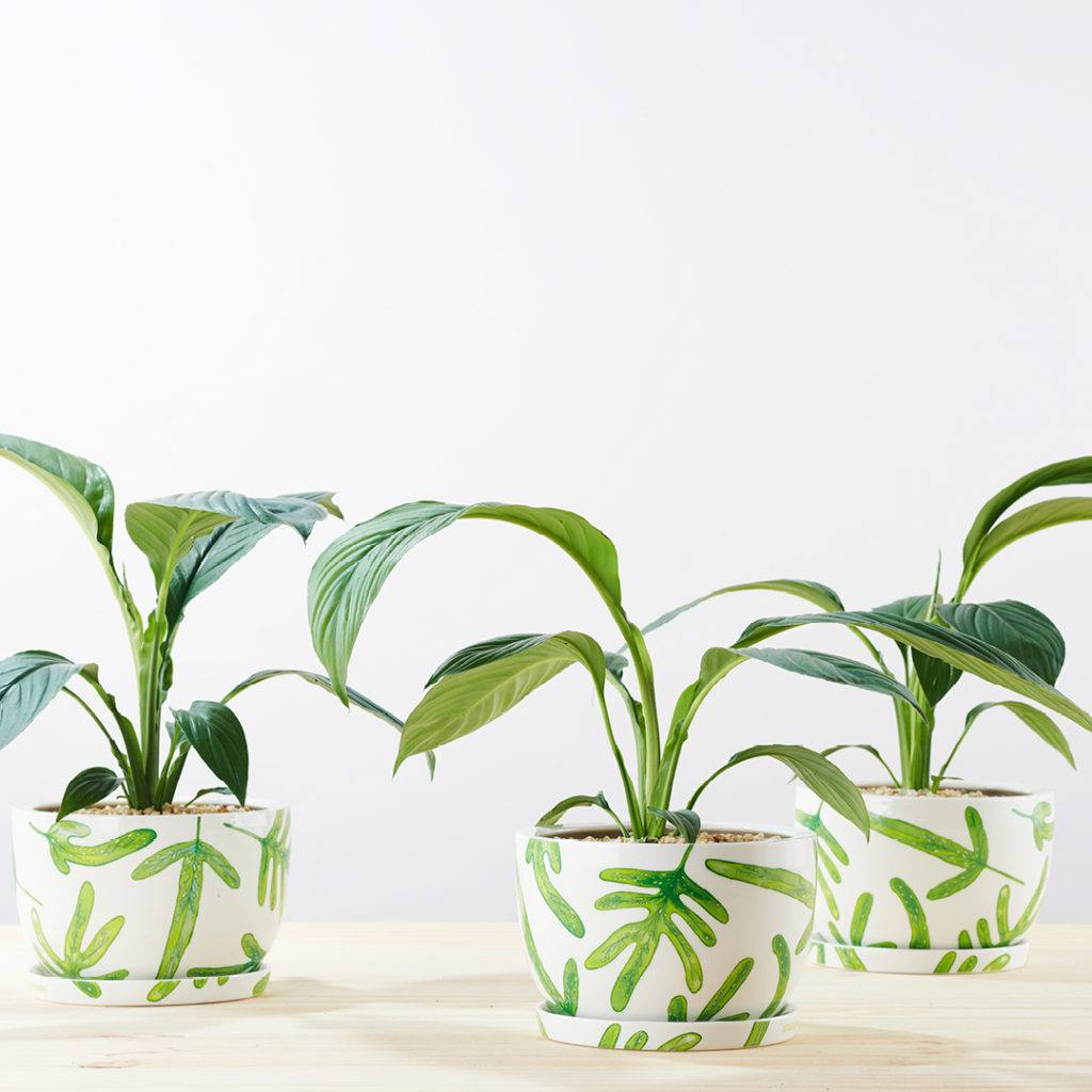 Three happy Peace Lily plants all in a row in our Monarch Fern Decorative Plant Pots.