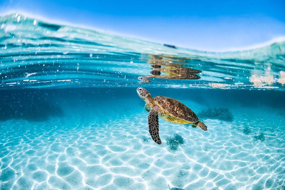 Green Sea Turtle swimming in shallow waters.