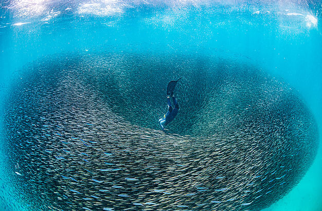 Person in full wet suit swims into centre of a vortex of bait fish