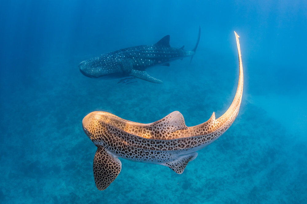 Tiger shark and whale shark swimming side by side.
