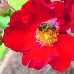 Seeing red: incorporating colour into your garden