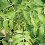 Curry leaves: how to spice up your garden