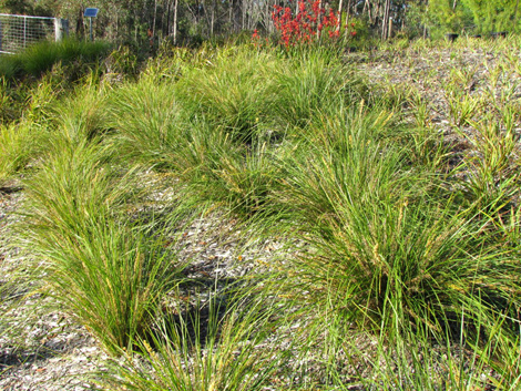 Lomandra verday product ods for Soft landscape materials