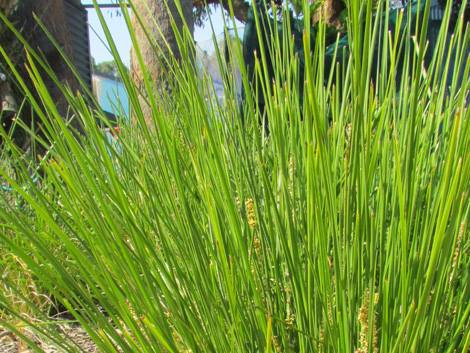 Lomandra dalliance product ods for Soft landscape materials