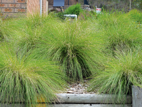 Lomandra lime wave product ods for Soft landscape materials