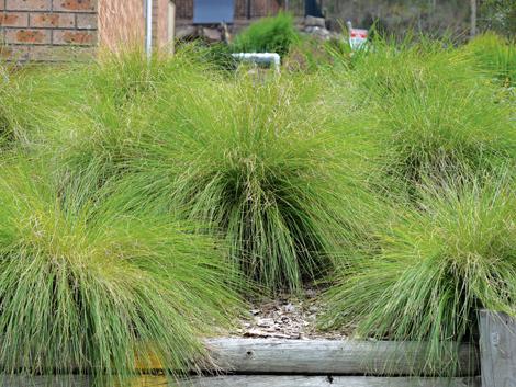 Lomandra lime wave product ods for Soft landscape materials
