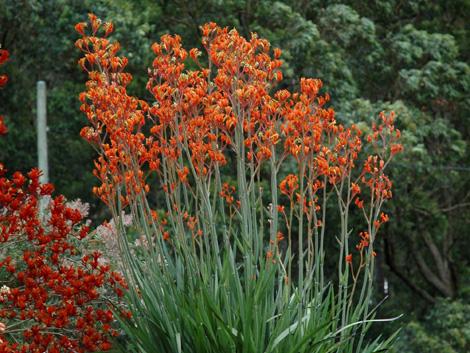 Anigozanthos Landscape Tangerine Product Ods