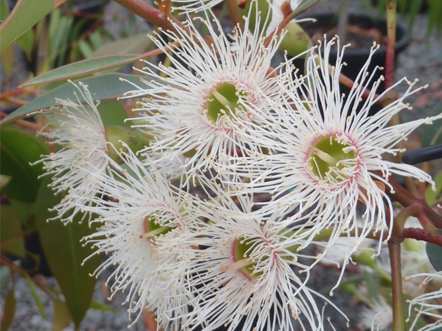 Corymbia Ficifolia Snowflake Grafted White Flowering