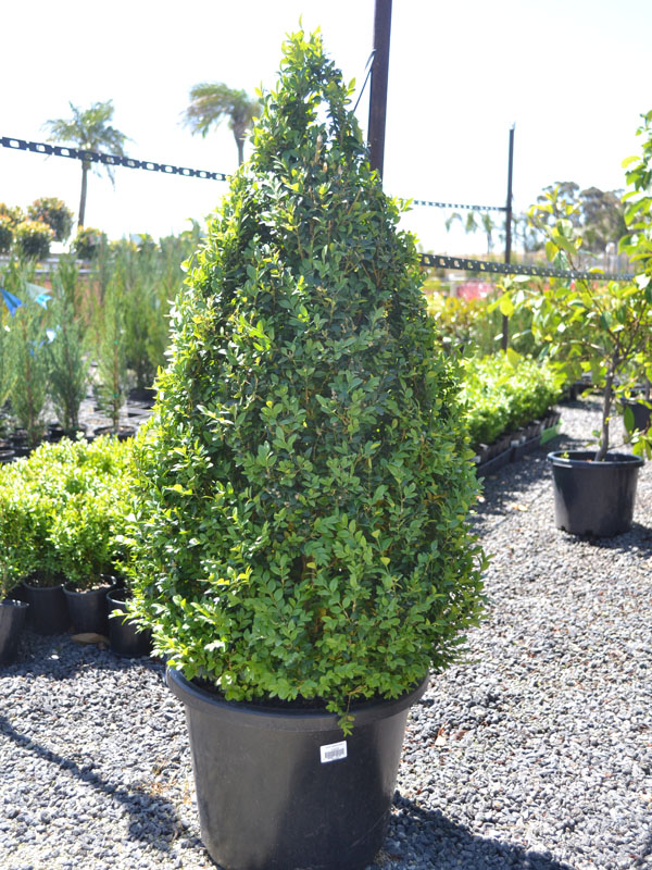 English Box Hedges Din San Nurseries Product Ods