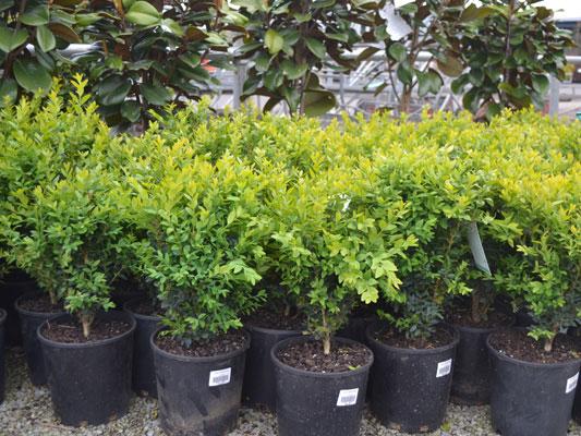 English Box Hedges Din San Nurseries Product Ods