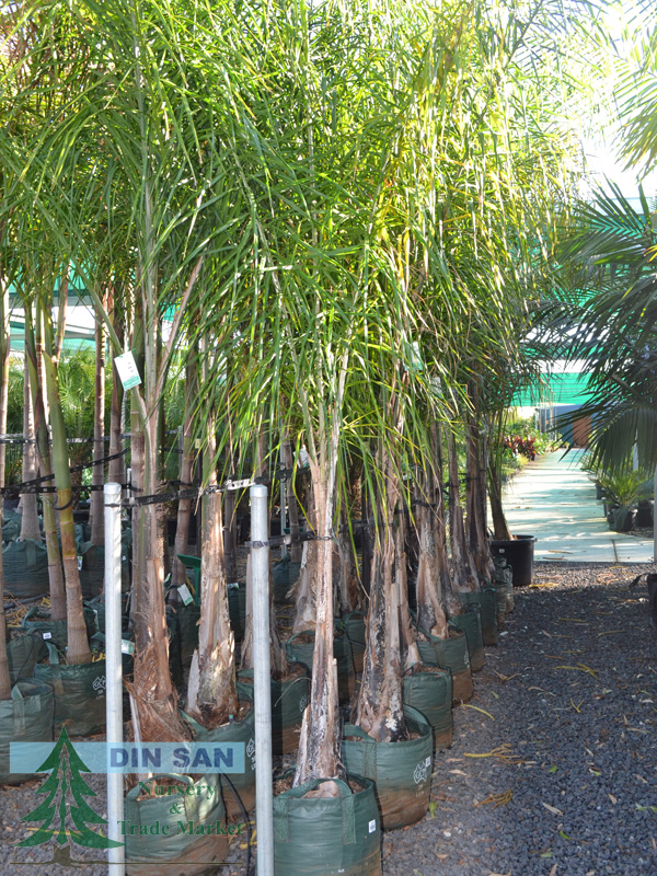 Tropical And Palm Trees Din San Nurseries Product Ods