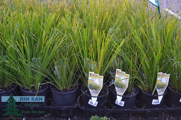 native and ornamental grasses - din san nurseries