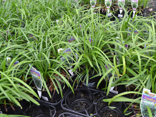 Native and ornamental grasses din san nurseries product ods native and ornamental grasses din san nurseries workwithnaturefo