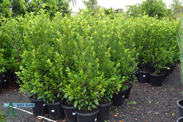 Advanced Trees Din San Nurseries Product Ods