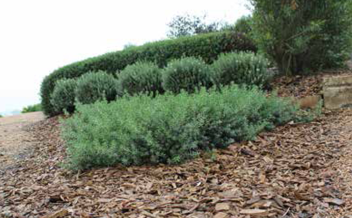 Low horizon westringia native shrubs and groundcovers for Soft landscape materials