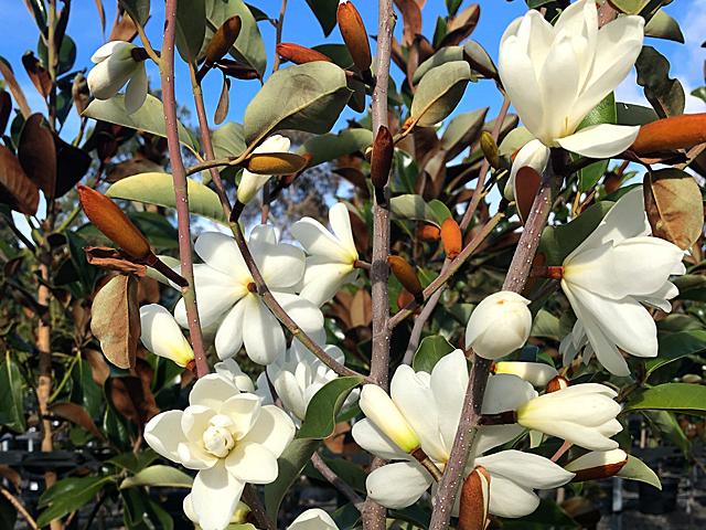 Evergreen Magnolia Product Ods