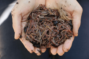 Worms wormfarm